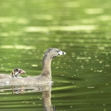 Pie-billed Grebe and baby