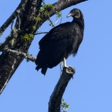 Black vulture tree