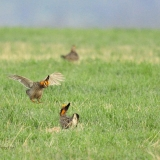 Greater Prairie Chickens 2
