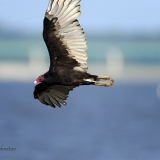 Turkey Vulture flight