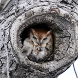 Eastern Screech Owl-Red Morph