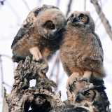 Great Horned Three