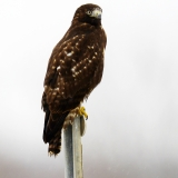 Red Tailed Hawk Dark Morph