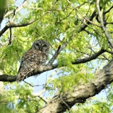 barred owl tree
