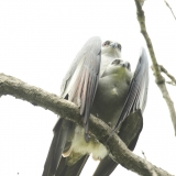 kites mating