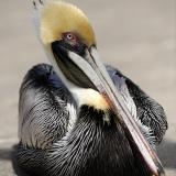 Brown Pelican Portrait2