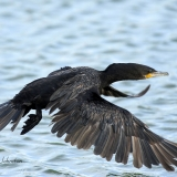 Neotropic cormorant flight