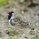 Harris' Sparrow 2