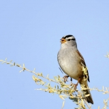 White Crowned Sparrow tree