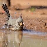 pyrrhuloxia bathing